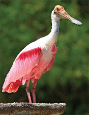 spoonbill in Florida